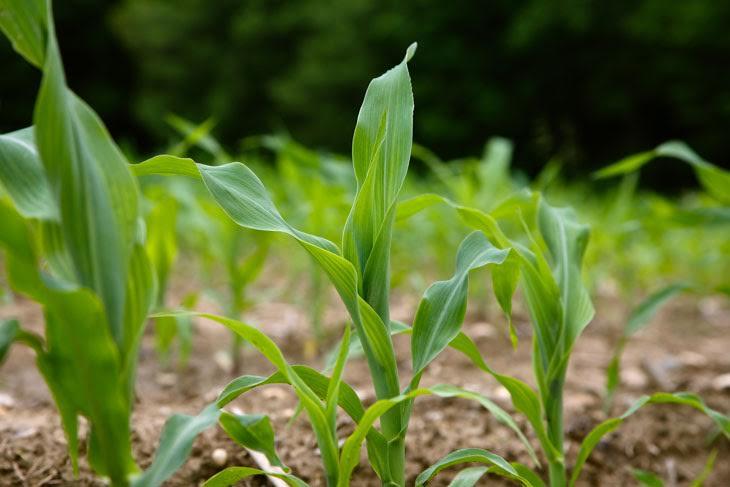 Sacas de milho pelo Programa Terra Boa já estão a disponíveis em Petrolândia