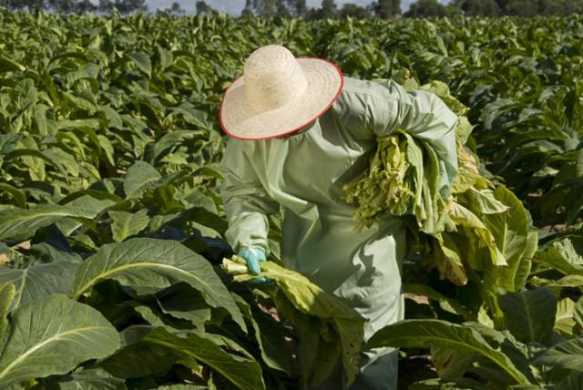 SINDITABACO desenvolve roupa especial para colheita de fumo