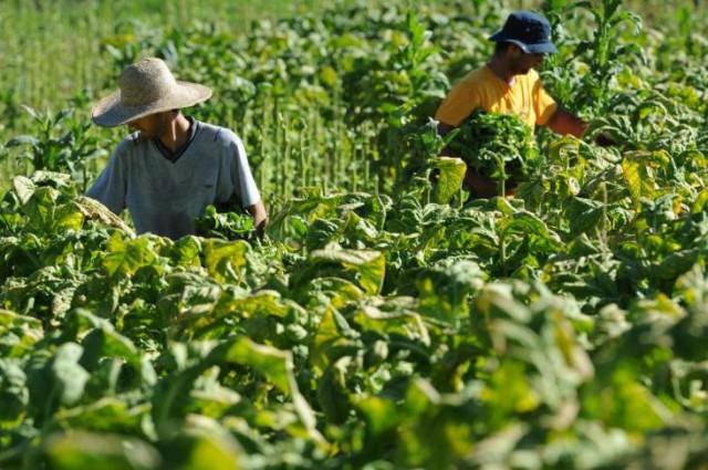 Falta de mão de obra faz com que produtores de fumo reduzam produção de tabaco no Brasil
