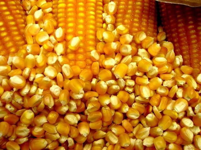 Agricultores de Petrolândia podem solicitar semente de milho e pagar após a colheita