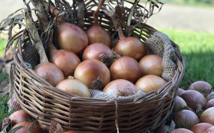 A nova cebola de Santa Catarina desenvolvida após 15 anos de pesquisas