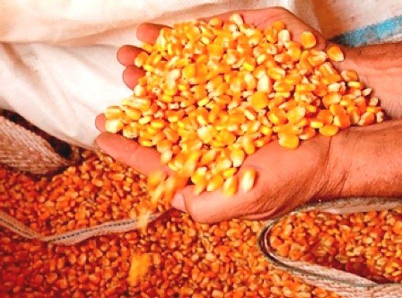 Agricultores de Petrolândia ainda podem se beneficiar com sementes de milho pelo Programa Terra Boa