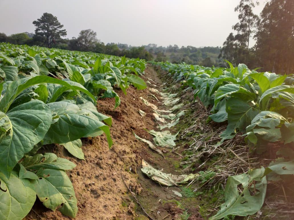 Afubra chega a fase final de pagamento de indenizações por sinistro a fumicultores