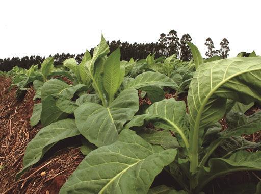 Afubra estima redução de área plantada de fumo para a próxima safra