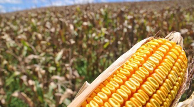 Agricultores da região iniciam preparativos para o cultivo do milho safrinha