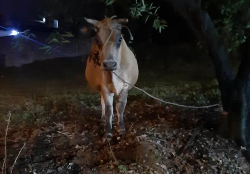 Bombeiros são acionados para conter vaca solta em Ibirama