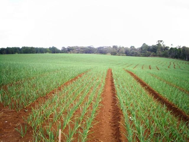 Intensifica o plantio de cebola na região