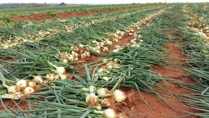 Cidasc colhe amostras de hortaliças na Região da Cebola para detecção de resíduos de agrotóxicos
