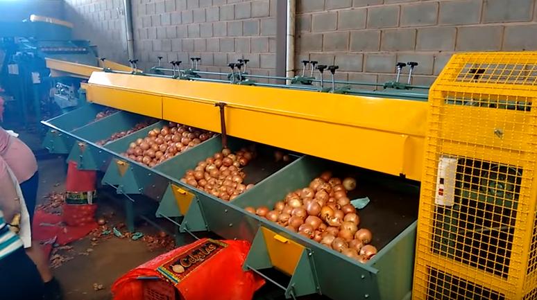 Classificação de cebola nas cerealistas pode sofrer mudanças na próxima safra