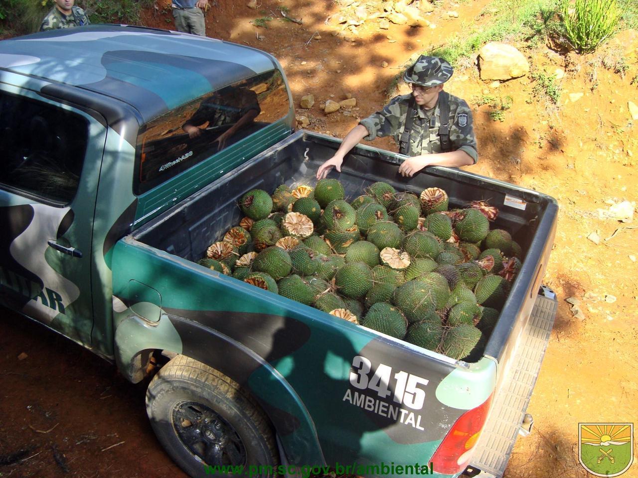 Colheita do pinhão é permitida somente a partir de abril