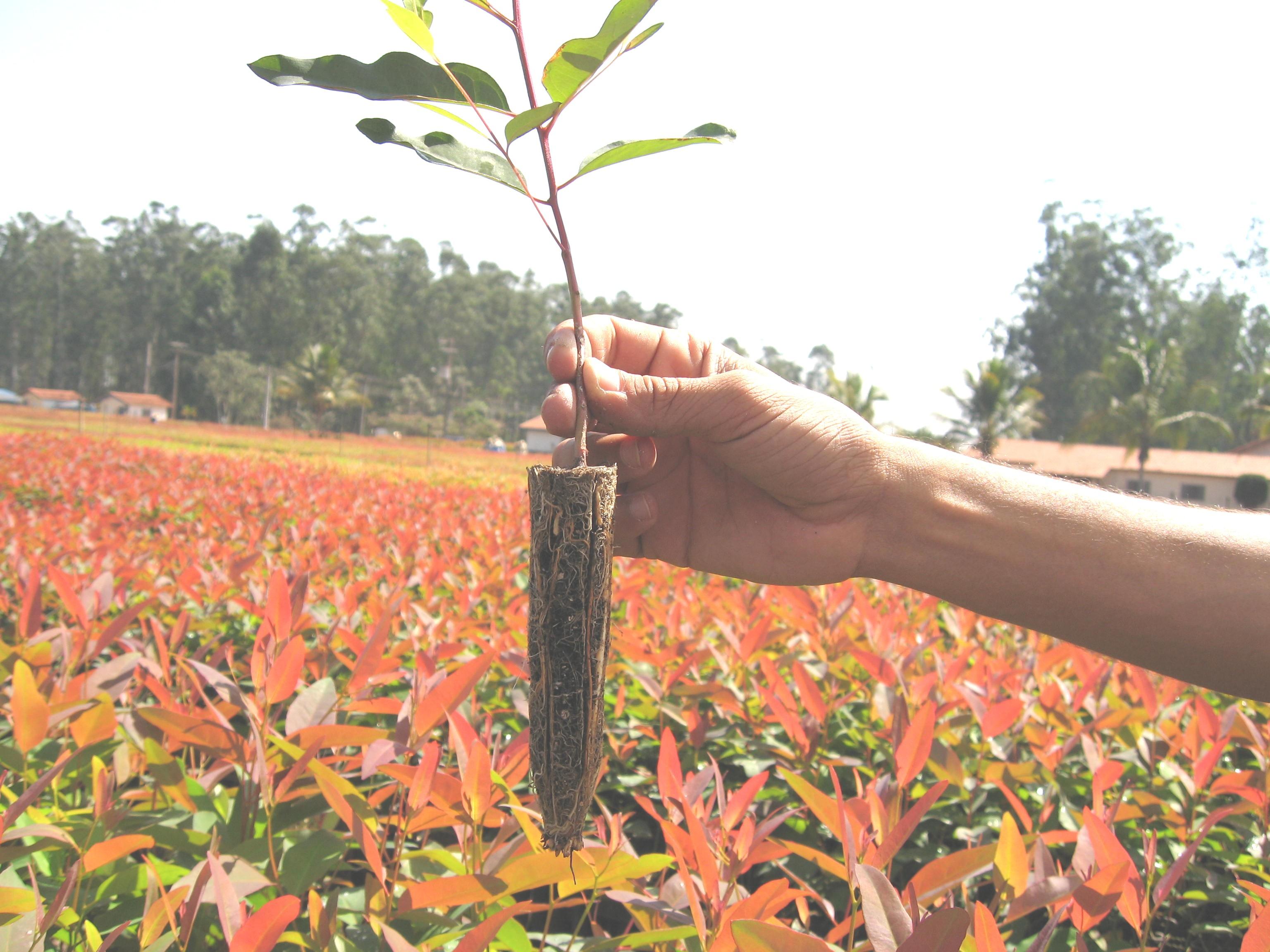 Programa de subsídio de mudas de eucalipto é prorrogado em Petrolândia