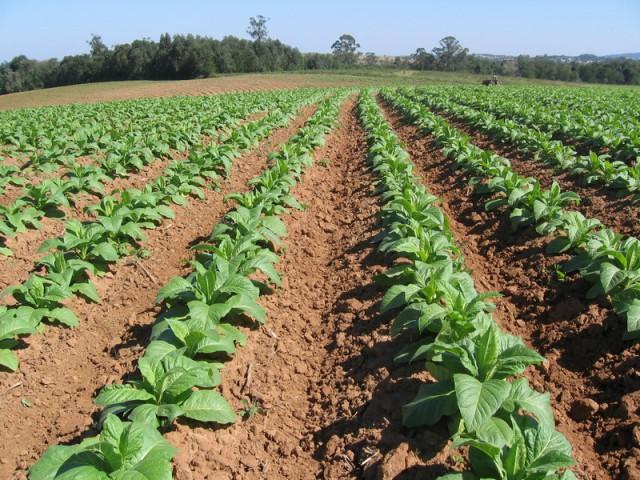 Com previsão de chuva acima da média, Afubra orienta produtores de fumo para que não haja prejuízos nas lavouras