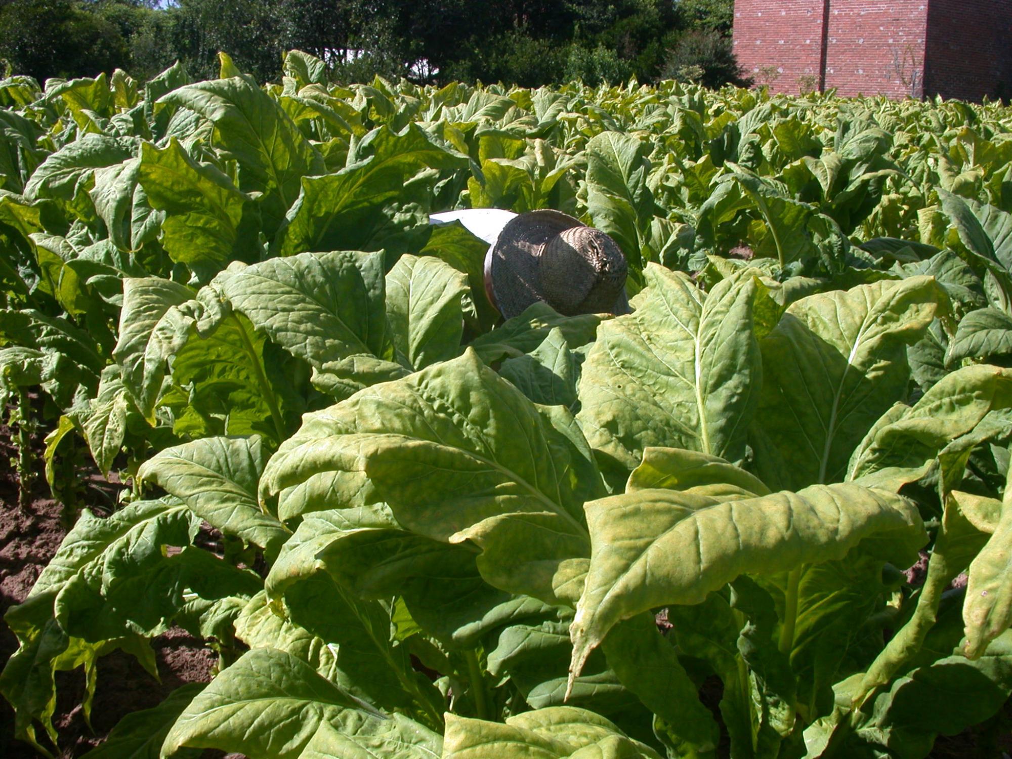 Entidades e empresas não chegam a um acordo sobre o preço do tabaco