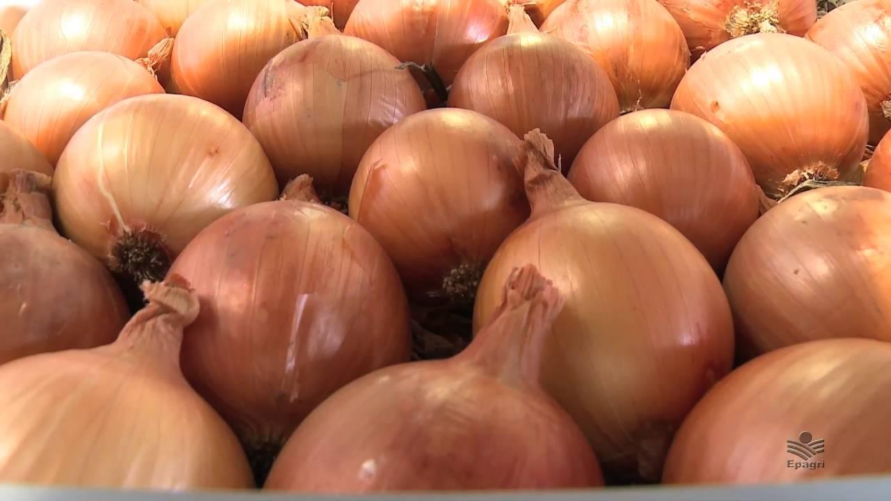 Epagri de Ituporanga desenvolve nova cultivar de cebola resistente ao mofo