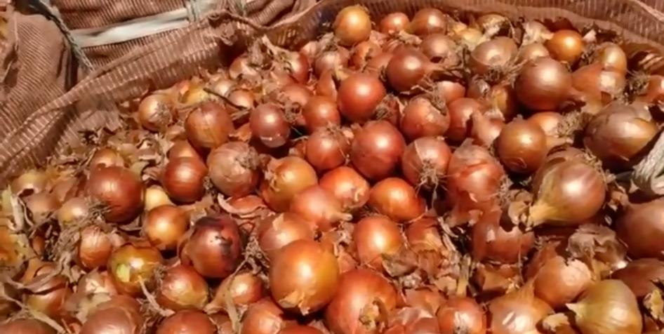 Epagri estima que 2% de cebola da safra 2019/2020 ainda está disponível para comercialização
