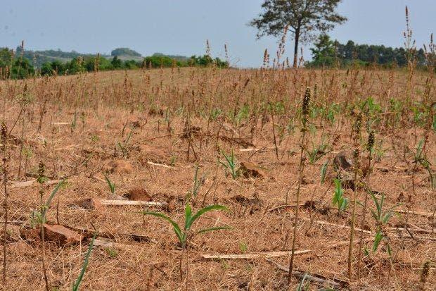 Estiagem em SC afeta produção agrícola e pode deixar alimentos mais caros