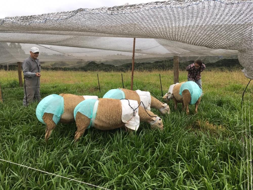 Experimento com ovelhas de fraldas e microfones chama atenção em Lages