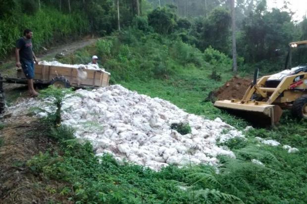 Falta de energia elétrica mata 17 mil frangos de calor em Apiúna, no Médio Vale
