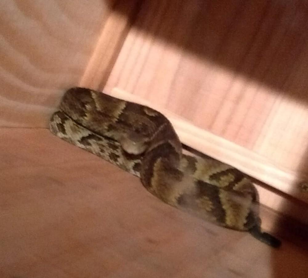 Jararaca de quase 1 m é encontrada dentro de casa no Norte catarinense