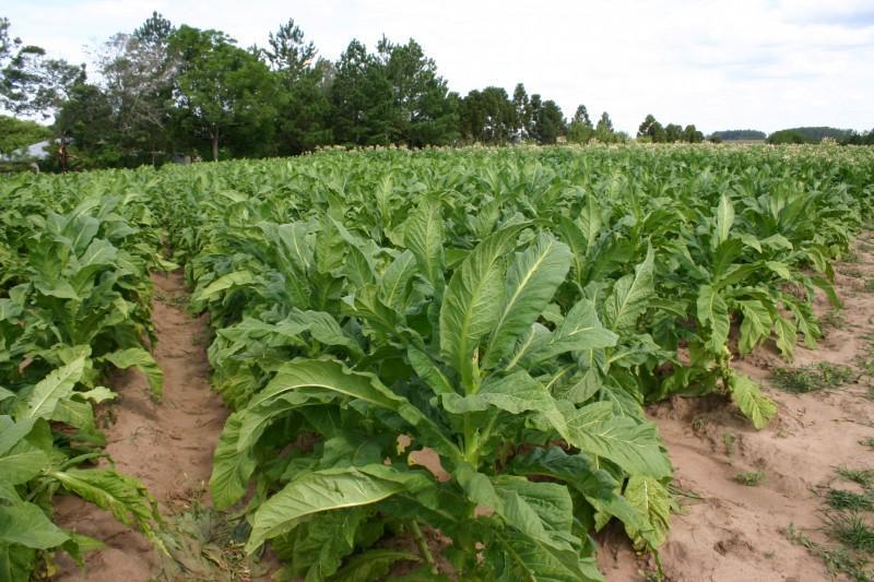 Afubra registra aumento na quantidade de pés de fumo segurados por lavoura no sistema de mutualidade do produtor