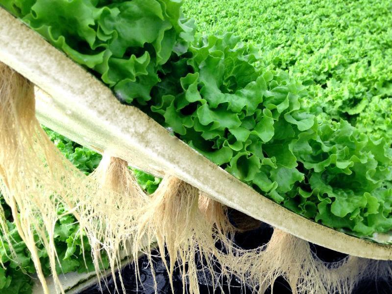 Agricultores do Alto Vale investem no cultivo hidropônico