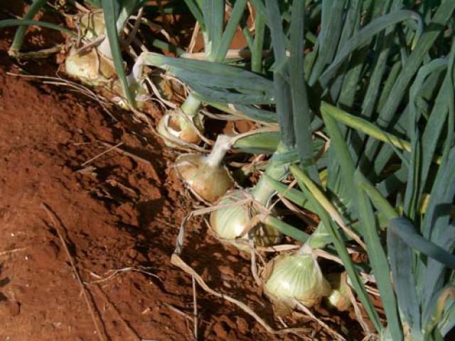 Agropecuária de Petrolândia realiza Dia de Campo para expor produtos em alta na cebolicultura