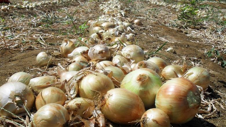 Anace entrega relatório que justifica a necessidade de inclusão da cebola na lista LETEC