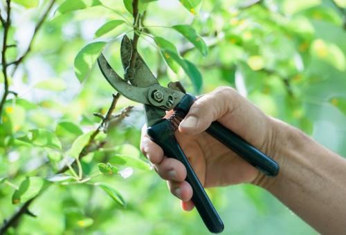 Atenção agricultores: mês de agosto é indicado para fazer podas de árvores frutíferas