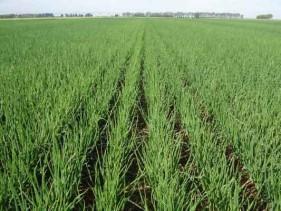 Colheita da cebola inicia com baixos preços e clima adverso