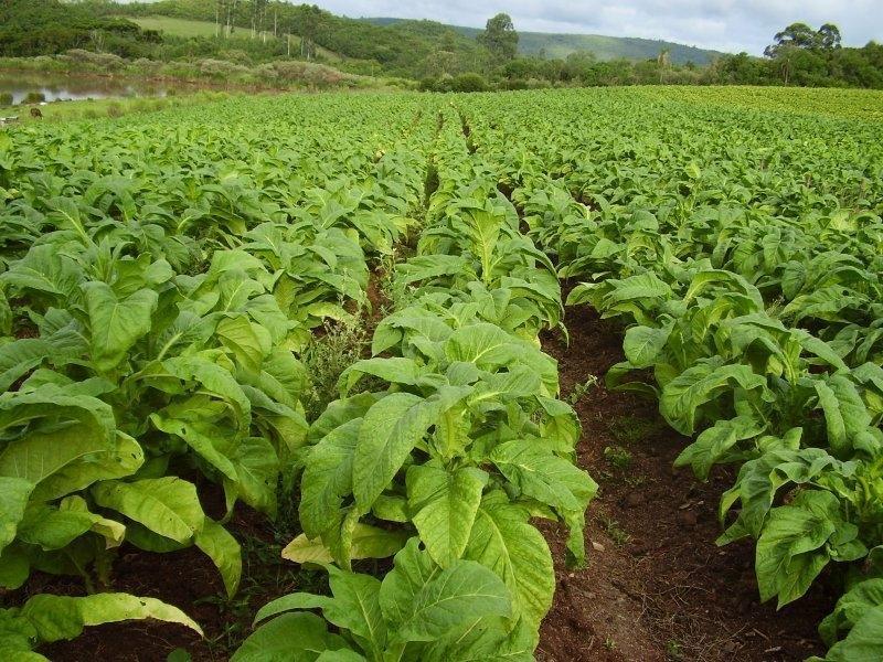 Colheita do tabaco maduro proporciona melhor qualidade na hora da comercialização