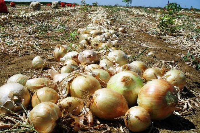 Custo da produção de cebola será tema de reunião na próxima semana em Ituporanga
