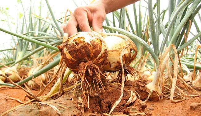 Epagri realiza curso sobre cebola voltado para técnicos agrícolas do Alto Vale