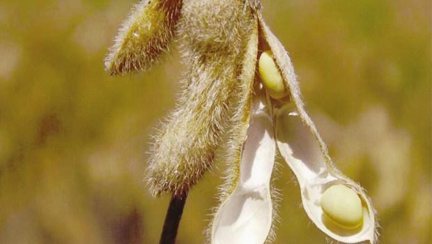 Estiagem acarreta prejuízos para os produtores de grãos na região do Alto Vale