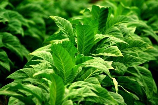 Fecha sem acordo a segunda rodada de negociação sobre o preço do Tabaco