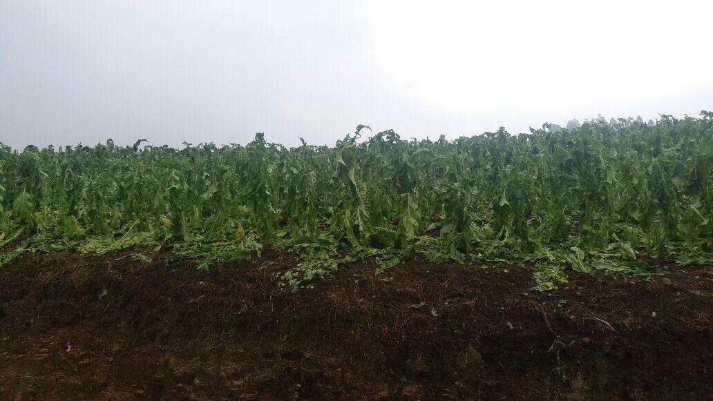 Lavouras de fumo, cebola, milho e feijão foram destruídas pelo granizo na Região da Cebola