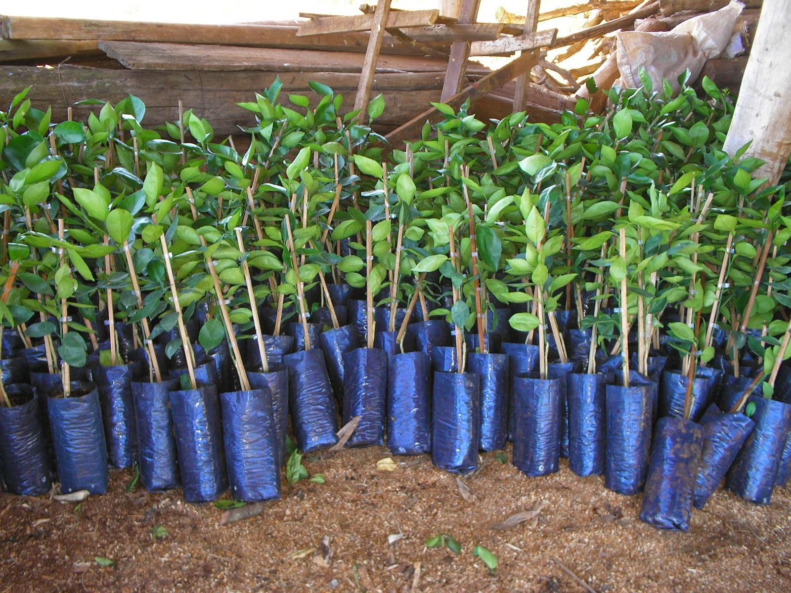 Meses de junho e julho são os mais indicados para plantio de mudas frutíferas