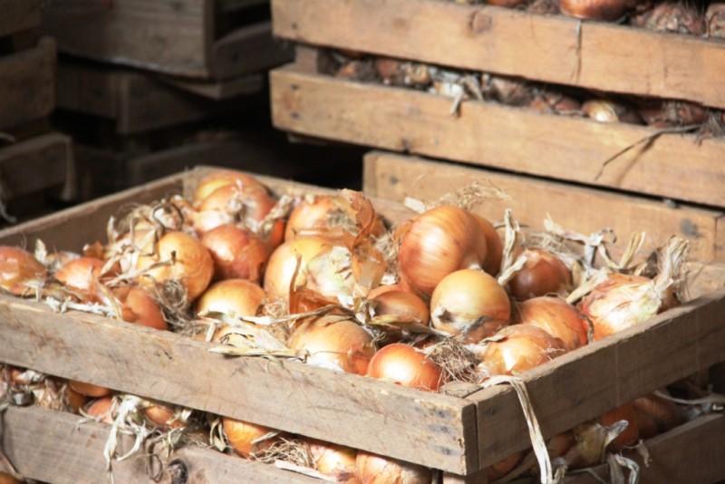 Nova safra de cebola deve ter clima favorável e ser marcada pela permanência dos produtores tradicionais