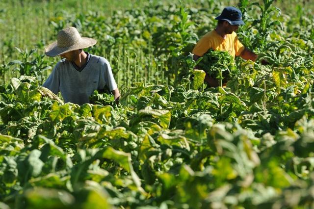 Prazo para fumicultores aderirem ao sistema mutualista da Afubra encerra nesta segunda