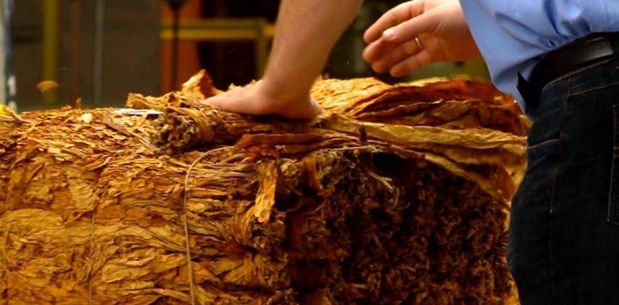 Preço médio de comercialização do tabaco cai 10% para produtores do Alto Vale