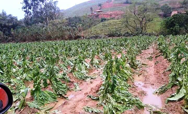 Pelo menos 400 fumicultores já acionaram a Afubra por conta do granizo