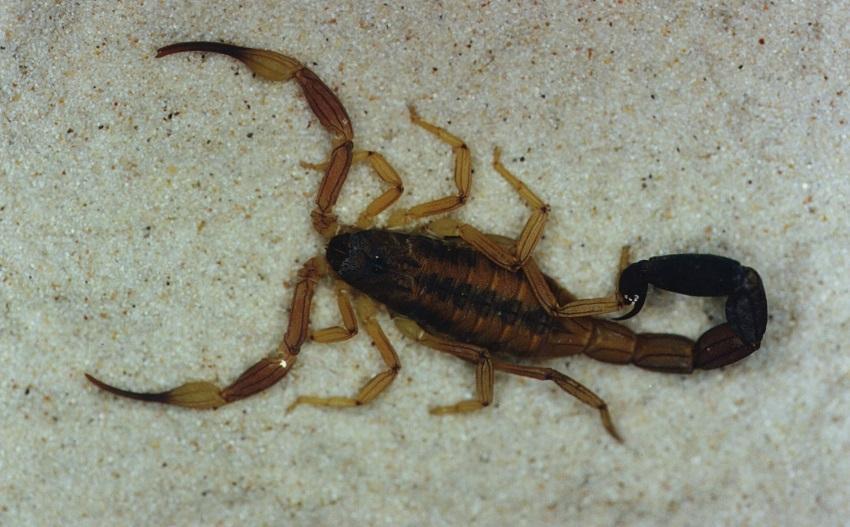Presença de escorpiões assusta moradores em Ituporanga