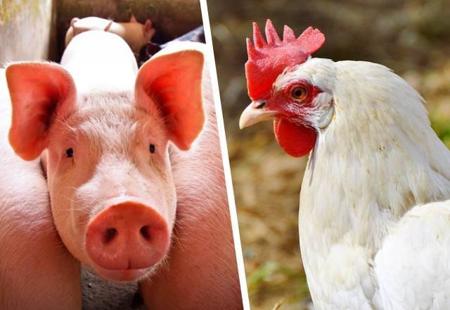 Produção de aves e suínos aumenta no Alto Vale
