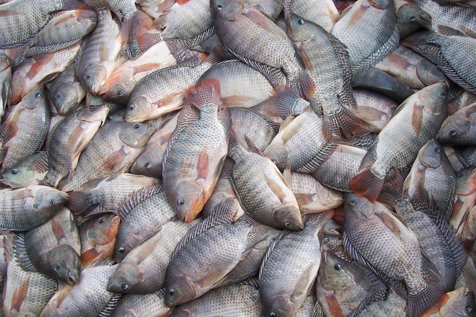Produção de peixe cresce no Alto Vale