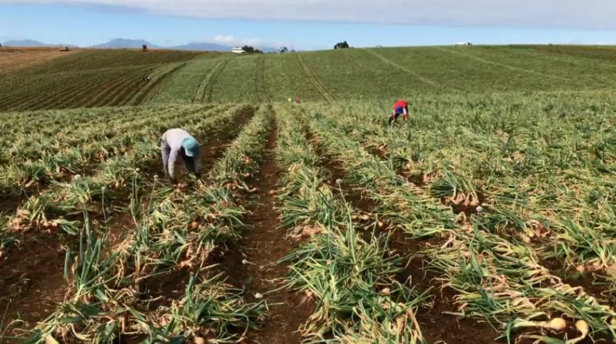 Produtores de Ituporanga se animam com preço da cebola