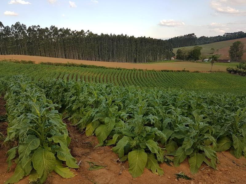 Produtores de tabaco iniciam colheita da safra no Alto Vale