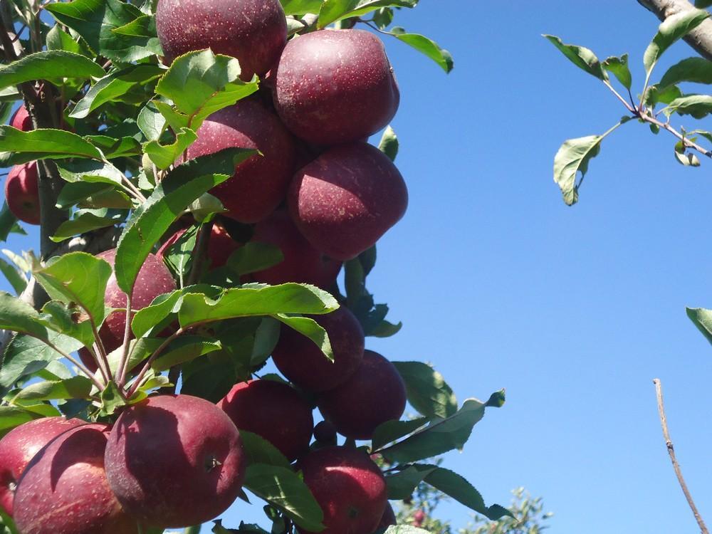 Produtores torcem para frio continuar e garantir boa produção de maçãs na Serra catarinense