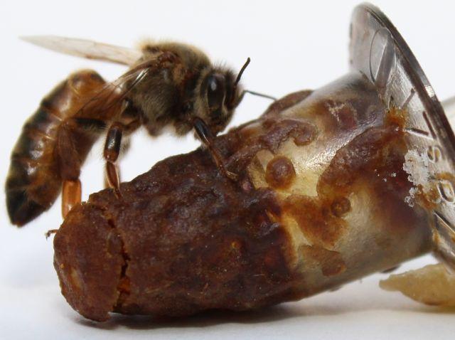 Publicação da Epagri ensina a selecionar e produzir abelhas rainhas