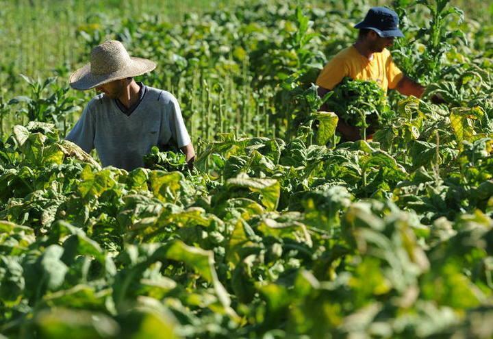 Safra de Fumo encerra com diferença de preços entre os três estados do Sul
