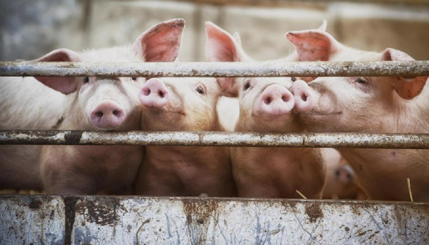 Santa Catarina é considerado o maior produtor e exportador de carne suína nacional; reportagem mostra o dia-a-dia de quem produz suínos;
