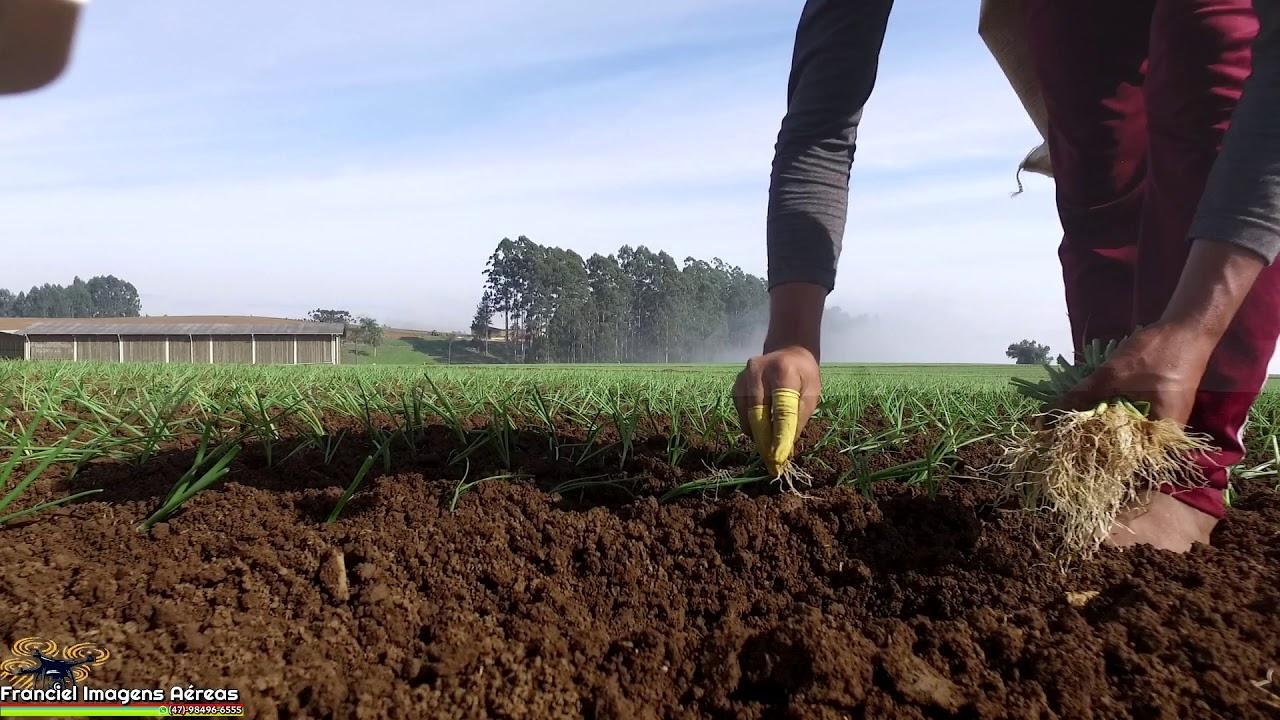 Trabalhadores contratados para o plantio da cebola em Ituporanga serão acompanhados para evitar propagação da Covid